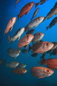 pic of bigeye  - School of Red Fish - JPG