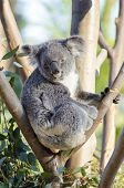 image of herbivore  - A cute adorable adult koala bear sitting on a tree grasping a branch with its claws - JPG