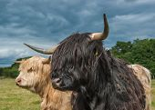 image of longhorn  - A Photograph Of Highland Longhorn Cattle In A Field