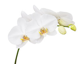 stock photo of six-petaled  - Six day old white orchid isolated on white background - JPG