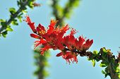 stock photo of ocotillo  - Beautiful ocotillo blooming in the Yuma - JPG