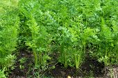 picture of carron  - young green leaves of growing carron in vegetable garden - JPG