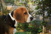 pic of puppy beagle  - beagle puppy waiting for hunting during autumn - JPG