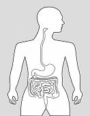picture of gastrointestinal  - The gastrointestinal tract on a gray background - JPG