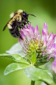 pic of bumble bee  - close up of a bumble bee feeding on a purple flower - JPG