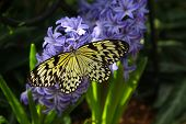 pic of nymphs  - Idea leuconoe butterfly also named paper kite - JPG