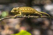 stock photo of chameleon  - Highly detailed image of Colorful chameleon of Madagascar  - JPG