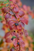 foto of chokeberry  - branch chokeberry with ripe berries close up - JPG