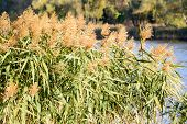 stock photo of bulrushes  - Bulrush leaves and flowers close to the lake in autumn - JPG