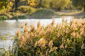 picture of bulrushes  - Bulrush leaves and flowers close to the lake in autumn - JPG