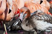 picture of pink flamingos  - A juvenile flamingo  - JPG