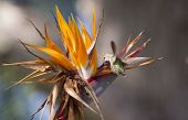 stock photo of bird paradise  - Humming bird hovering and collecting nectar from a Bird of Paradise flower - JPG