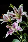 image of stargazer-lilies  - Lilium cernuum is a species of lily native to Korea and eastern Siberia - JPG