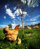picture of grass bird  - Closeup of a mother chicken with its baby chicks in grass - JPG