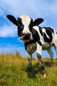 pic of sea cow  - Lovely Holstein Frisian cow standing in field - JPG