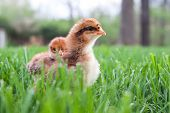 pic of baby chick  - Two Easter chicks exploring outisde in the grass  - JPG