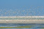 foto of swarm  - Flock of flamingos wading in the shallow lagoon water with swarm of terns - JPG
