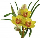 picture of yellow orchid  - illustration with yellow orchids isolated on white background - JPG