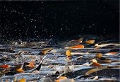 picture of fish pond  - swarming fish in the pond at harvest - JPG
