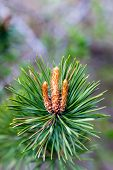 stock photo of pine cone  - Brightly green prickly branche of a fur - JPG