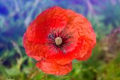 stock photo of poppy flower  - Lone Red poppy on green weeds field. Poppy flowers.Close up poppy head. red poppy