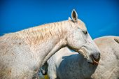 image of dapple-grey  - Close up low angle head shot of a pretty dappled grey horse standing alongside a companion in summer sunshine against a clear blue sky - JPG