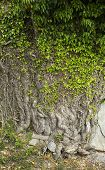 picture of ivy  - Big and tough ivy on a stone wall - JPG