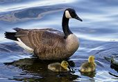 picture of mother goose  - The mother goose is swimming with two children - JPG