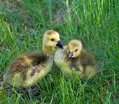 pic of mother goose  - Young geese are talking to each other - JPG