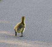 pic of mother goose  - Movement through the life - JPG