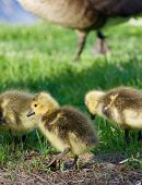 stock photo of mother goose  - Cute little cackling geese are going through the grass field - JPG