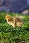 stock photo of mother goose  - Very cute cackling goose chick on the sunny grass - JPG