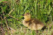 stock photo of mother goose  - Happy chick of the cackling geese is staying on the shiny grass - JPG