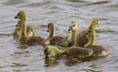 pic of mother goose  - Seven young cackling geese are swimming in the lake