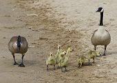 image of mother goose  - The funny young family of the Canada geese on the beach - JPG