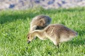 stock photo of mother goose  - The young geese are eating the grass - JPG