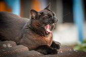 stock photo of yawn  - beautiful black and ginger cat on a tiled roof yawning - JPG