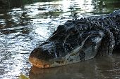 foto of rainforest  - Alligator found in the Bolivian Amazon Rainforest - JPG