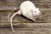foto of rats  - Pet rats on a wooden background - JPG