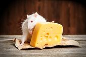 foto of rats  - Pet rat with a large piece of cheese - JPG