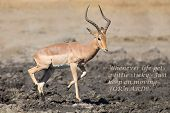foto of ram  - Impala ram drink water from a pond with risk of crocodile - JPG