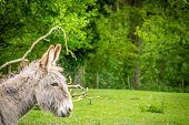 image of donkey  - Furry donkey on a meadow on a farm - JPG