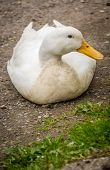 image of duck-hunting  - Lazy duck on a ground on a farm - JPG
