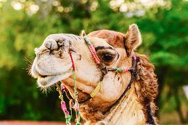 picture of camel-cart  - Profile of a Camel in Jaipur India - JPG