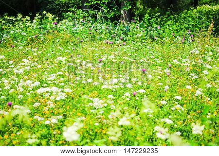 Daisies On A Beautiful Flowerbed Of The Lomonosov Park. St. Petersburg.