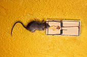 foto of dead mouse  - dead Mouse in cheese trap over yellow background - JPG