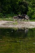 stock photo of jack-ass  - beautiful donkeys next to a lake in a wildlife landscape at the countryside - JPG