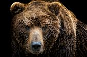 Front View Of Brown Bear Isolated On Black Background. Portrait Of Kamchatka Bear (ursus Arctos Beri poster