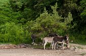 image of jack-ass  - beautiful donkeys in a wildlife landscape at the countryside Antigua  - JPG