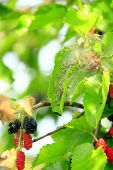 Cater Pillars Eat Leaves Of Mulberry. Branch With Ripe Mulberry And Bombyx Mori. Insects Pests Eatin poster